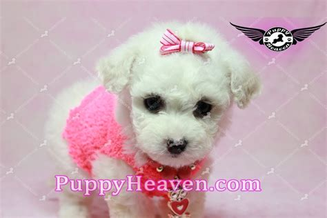 teacup pomeranian puppies for sale in bakersfield ca teacup pomeranian puppy in los angeles ca breeds picture