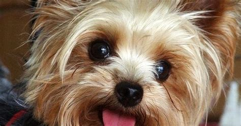 facts about yorkie puppies interesting facts about terriers the is true
