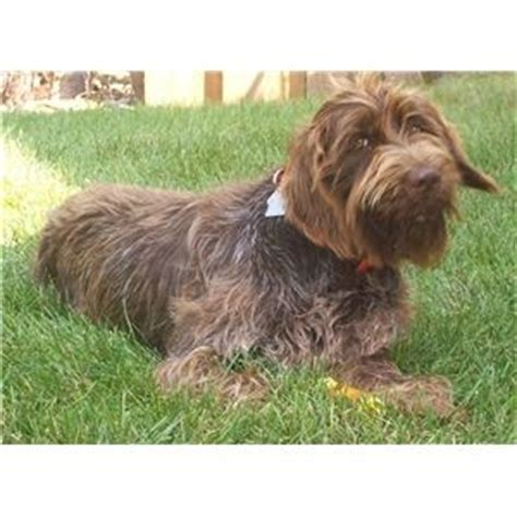 wirehaired pointing griffon puppies price wirehaired pointing griffon puppies ad 64044