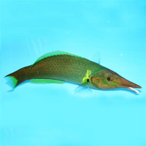 green bird wrasse flickr photo sharing bird wrasse gomphosus varius green bird wrasse brown