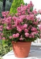 Arbuste En Pot Pour Terrasse 7984 by Conseils De Plantation Des Arbustes