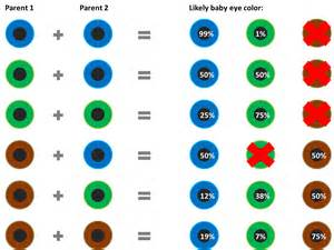 eye color genetics chart sittingaround