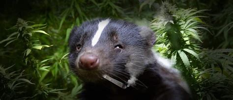 Skunk Smell In The House by Why Does Marijuana Smell Like A Skunk Green Daily