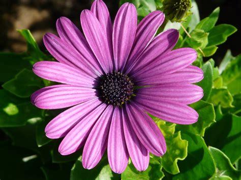 wallpaper daun ungu gambar mekar menanam ungu daun bunga bunga aster