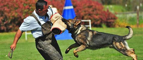 best protection dogs my family survival plan the best 5 breeds for your personal protection