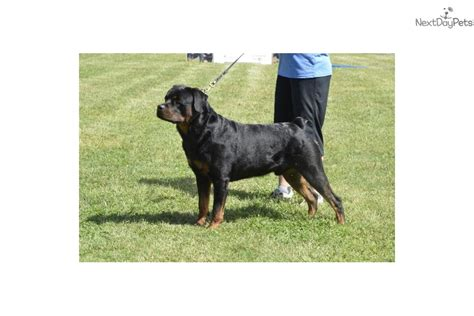 rottweiler puppies for sale oklahoma german rottweiler puppies listed black rottweiler puppy for sale in