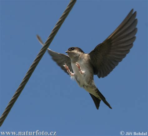 house martin house martin photos house martin images nature wildlife pictures naturephoto