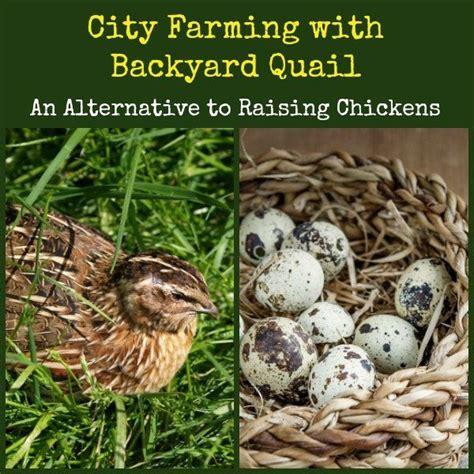 raising backyard quail the 25 best raising quail ideas on pinterest quails
