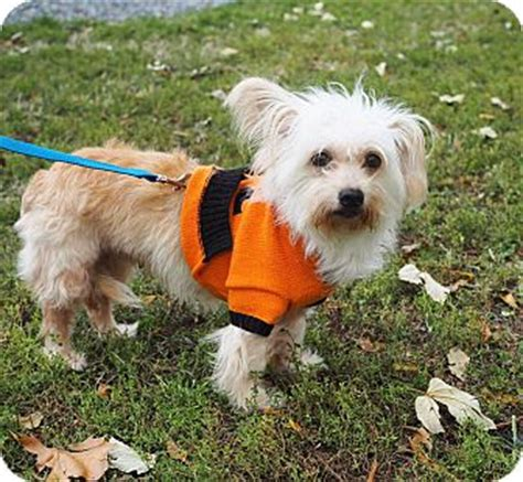 punky brewster s dogs name whitehall pa westie west highland white terrier mix meet punky brewster a for