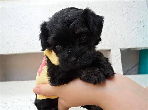 yorkie maltese poodle maltese poodle puppies yorkie mix puppies rockland ottawa