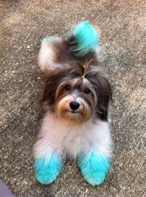 havanese forums best 25 hair dye ideas on kool aid hair kool aid dye and safe hair color