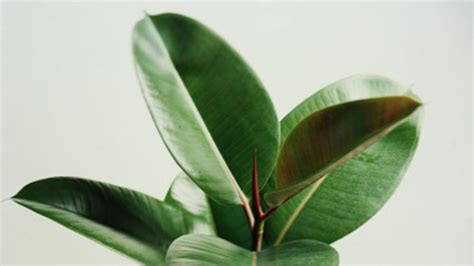 common house plant with shaped leaves common house plants sunset