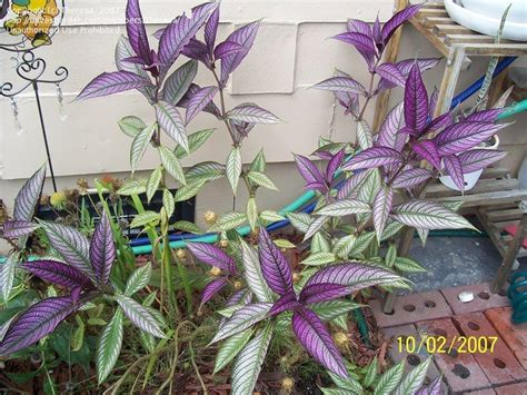 purple leaf trees identification plant identification closed whats this brilliant purple leaf plant called 1 by theresa
