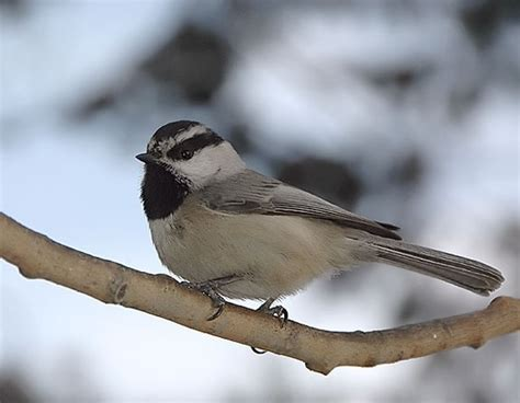 17 best images about cheerful chickadees on pinterest