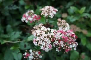 foragefor news winter flowering shrubs