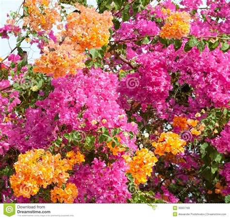 roze en oranje struiken royalty vrije stock foto s   afbeelding 30007768