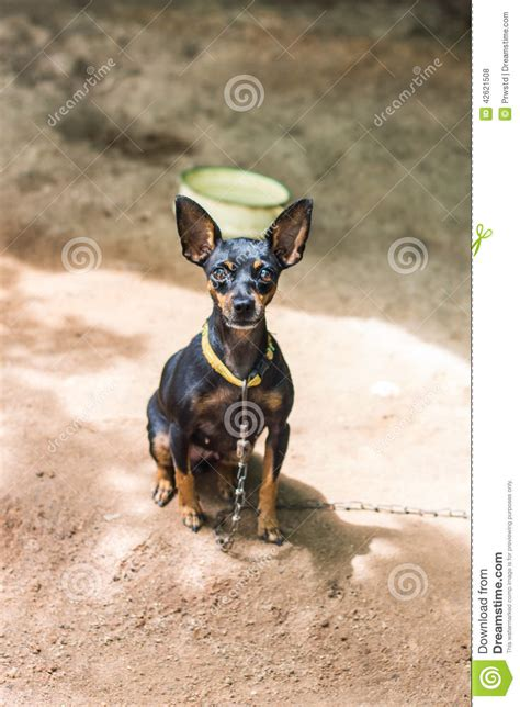 Black And Brown Black And Brown Chihuahua Stock Photo Image 42621508