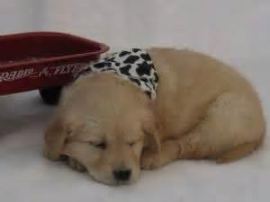 golden retrievers for sale in utah golden retriever puppies in utah