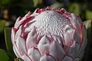 protea flower file protea flower02 jpg