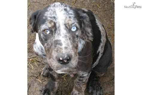 catahoula leopard puppies for sale catahoula leopard puppies for sale in missouri breeds picture