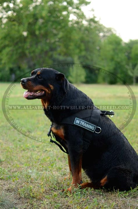 different colored rottweilers get rottweiler harness velcro patches
