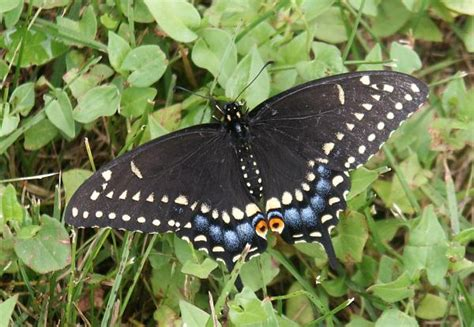 black swallowtail butterfly swallowtail butterfly pictures funny animal