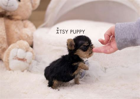 micro yorkies puppies for sale sold micro yorkie itsy puppy teacup microteacup puppies for