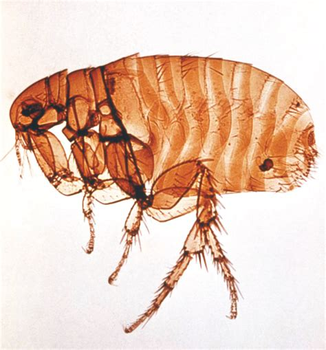 puppy flea fleas flea facts