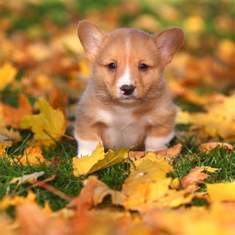 how much are corgi puppies corgi puppies we can t get enough