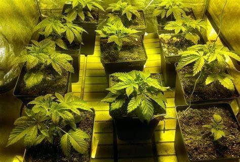 planta marihuana interior preguntas m 225 s frecuentes sobre el cultivo de marihuana