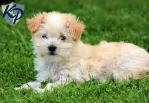 Hope german shepherd mix puppies for sale in pa keystone puppies