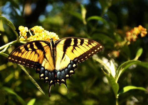monarch on a yellow butterfly bush frames stuff pinterest