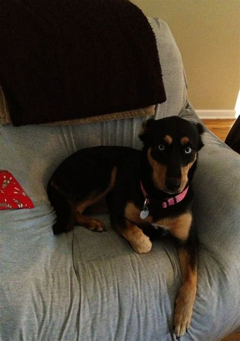 rottweiler malamute mix miss piggy world s most adorable rottweiler husky mix the sweetest dobies