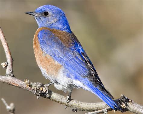 western bluebird audubon field guide