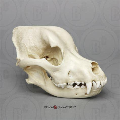rottweiler skull rottweiler skull bone clones inc osteological reproductions