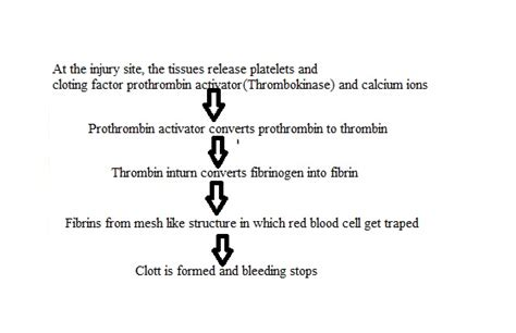 mechanism of blood clotting flowchart in a flow chart illustrate the major events included in