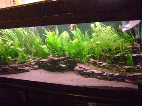american aquascapes 1000 images about south american cichlids on pinterest