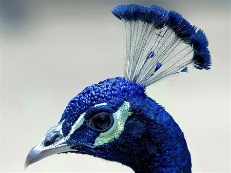 peacock blue free photo peacock head profile plume blue free