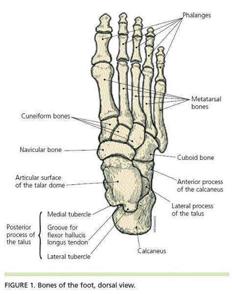 foot diagram blank foot bone diagram www pixshark images