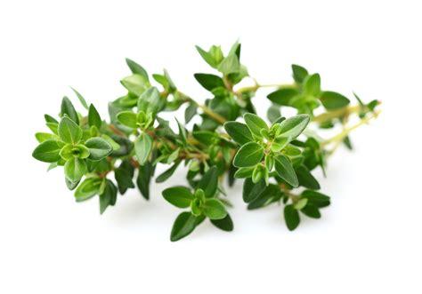Thyme Herbs thyme fahala