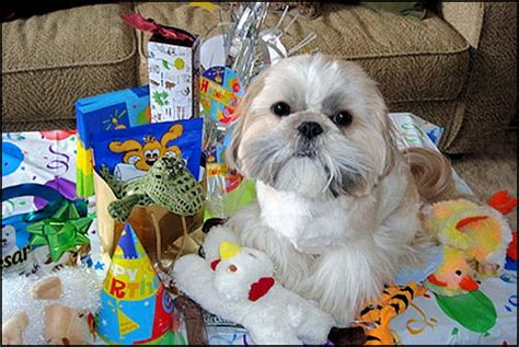 happy birthday shih tzu pictures mr foo s shih tzu of indiana kentucky missouri illinios ohio michigan home bred