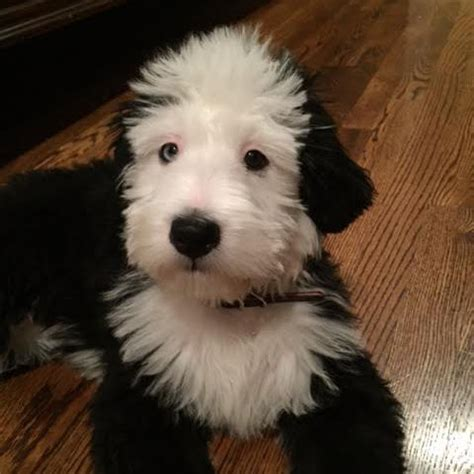 goldendoodle puppy uti bernedoodle puppies for mn puppy