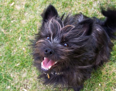 brindle cairn haircut black yorkie terrier mix newhairstylesformen2014 com