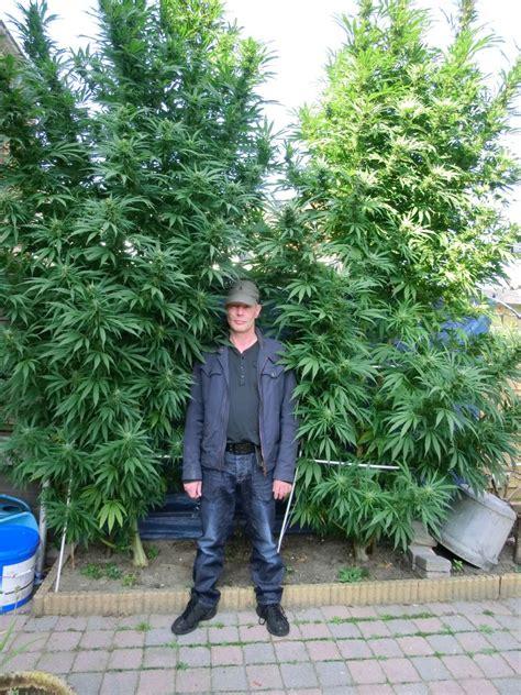 choosing  plant shape   marijuana weedist
