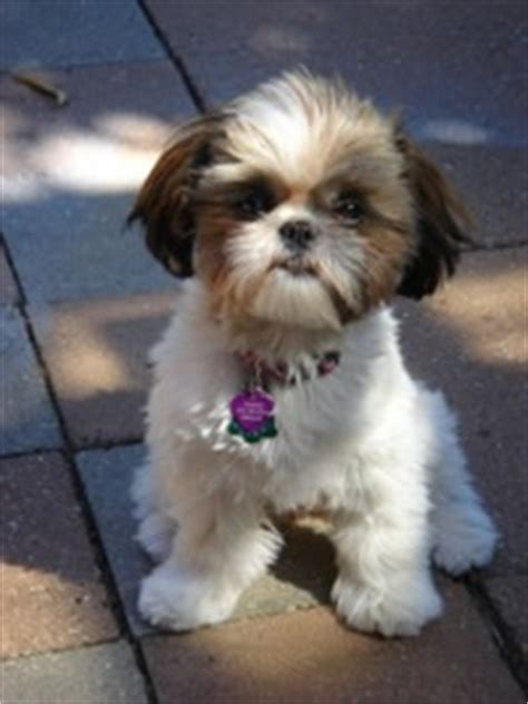 shishon puppie haircut preference 43 best images about puppies on pinterest lab puppies
