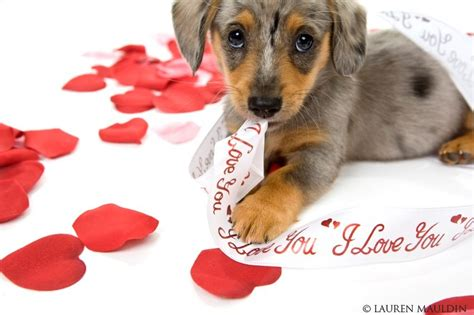 puppy valentines valentines day puppy wallpapers she moved to