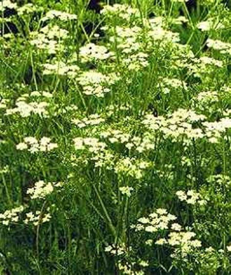 piccola area di terreno con erba e fiori cuminum cyminum
