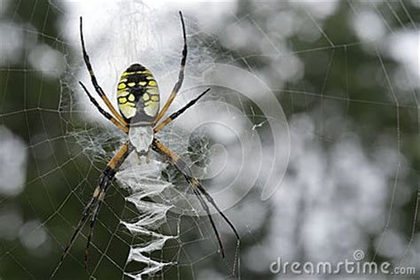spiders with zig zag pattern on back black and yellow garden spider argiope aurantia stock