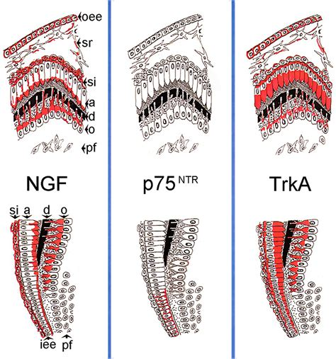 Ngf Pattern | frontiers expression of nerve growth factor ngf trka