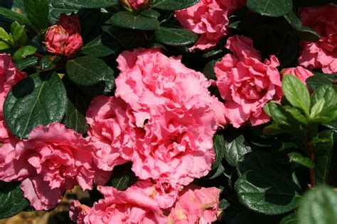 flowering shrubs that bloom all summer summer flower flowers that bloom all summer